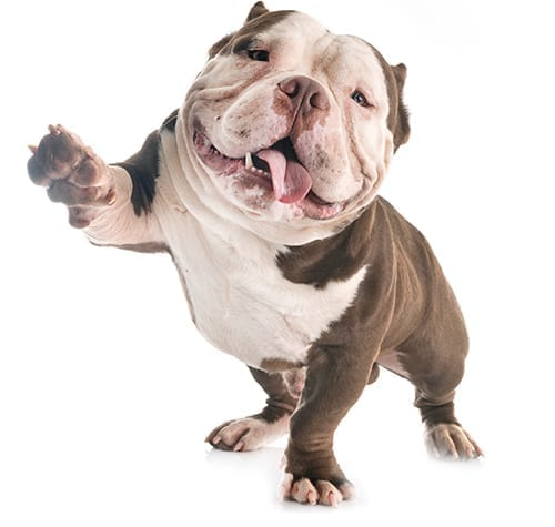 happy bulldog lifting its paw